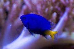 Pescados amarillos de la damisela de la cola Fotos de archivo
