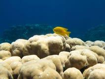 Pescados amarillos de la damisela en coral Imágenes de archivo libres de regalías