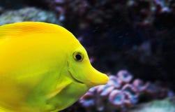 Pescados amarillos de la espiga en acuario Imagen de archivo