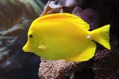 Pescados amarillos de la espiga (flavescens de Zebrasoma) Fotografía de archivo libre de regalías