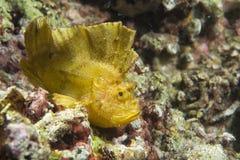 Pescados amarillos de la hoja en Cebú Fotos de archivo libres de regalías