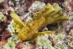 Pescados amarillos de la hoja en Cebú Fotos de archivo