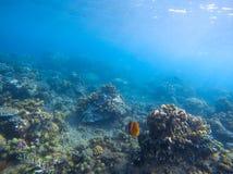 Pescados amarillos de la mariposa en arrecife de coral Foto subacuática de la costa tropical Fotos de archivo libres de regalías