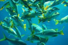 Pescados amarillos de los mordedores de la cola foto de archivo