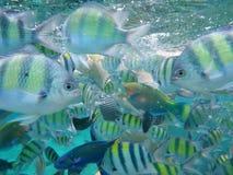 Pescados amarillos debajo del agua Fotografía de archivo