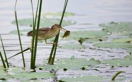 Pescados amarillos del retén de Jian de la cola Fotografía de archivo libre de regalías