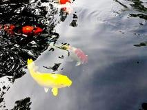 Pescados amarillos Koi fotografía de archivo