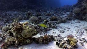 Pescados amarillos limón brillantes en el Mar Rojo subacuático de los corales almacen de metraje de vídeo