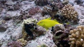 Pescados amarillos limón brillantes en el Mar Rojo subacuático de los corales almacen de video