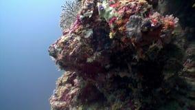 Pescados amarillos rayados subacuáticos en el fondo del fondo del mar en Maldivas almacen de video