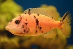 Pescados anaranjados Foto de archivo
