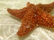Pescados anaranjados de la estrella subacuáticos en Belice Imagenes de archivo