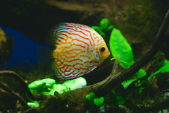 Pescados anaranjados del disco en acuario Imagen de archivo libre de regalías
