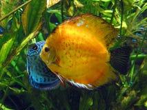 Pescados anaranjados y azules Fotos de archivo libres de regalías