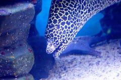 Pescados, anguila de Moray del leopardo Foto de archivo libre de regalías