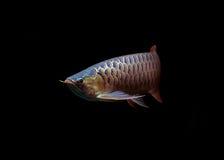 Pescados asiáticos de Arowana en fondo negro Fotos de archivo