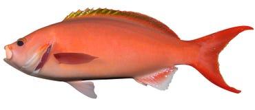 Pescados atlánticos del ejemplo del Creolefish 3D ilustración del vector