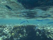 Pescados azules Fotos de archivo