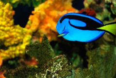 Pescados azules Foto de archivo libre de regalías