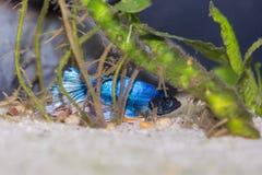Pescados azules del betta del paraíso Fotos de archivo libres de regalías