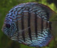 Pescados azules del disco Foto de archivo