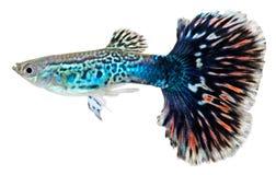 Pescados azules del guppy. Reticulata de Poecilia Fotos de archivo
