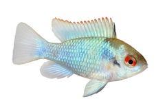 Pescados azules eléctricos alemanes del acuario del ramirezi de Mikrogeophagus del cichlid del enano del espolón Fotografía de archivo libre de regalías
