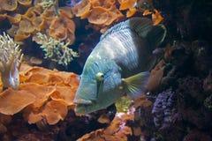 Pescados azules en coral Imágenes de archivo libres de regalías