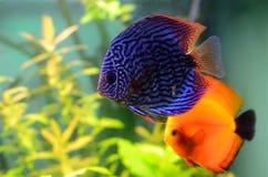 Pescados azules y anaranjados del disco Imagen de archivo libre de regalías