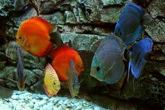 Pescados azules y rojos en acuario Foto de archivo