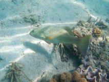 Pescados beige con los puntos azules que nadan con el fondo del arrecife de coral imagenes de archivo