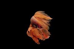 Pescados beta Imagen de archivo libre de regalías
