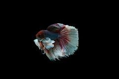 Pescados beta Fotografía de archivo libre de regalías