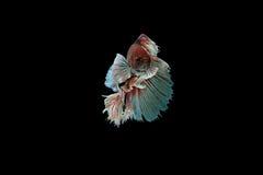 Pescados beta Imagenes de archivo