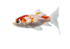 Pescados bicolores Imagen de archivo libre de regalías