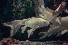 Pescados blancos de Koi imagenes de archivo