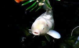 Pescados blancos de Koi Imágenes de archivo libres de regalías