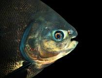 Pescados brillantes Fotos de archivo libres de regalías