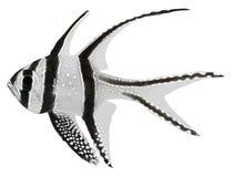 Pescados cardinales de Banggai (kauderni de Pterapogon) Fotos de archivo libres de regalías