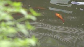 Pescados chinos en un parque de la ciudad almacen de video