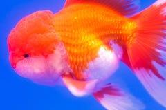 Pescados: Cichlid del cuerno de la flor foto de archivo