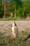 Pescados cogidos de la carpa en el giro al aire libre Fotografía de archivo