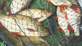 Pescados cogidos en la orilla en una jaula de la pesca en hierba verde metrajes