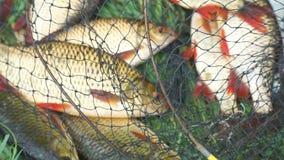 Pescados cogidos en la orilla en una jaula de la pesca en hierba verde almacen de metraje de vídeo