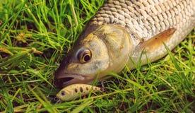 Pescados cogidos frescos con cebo en el cierre de la hierba para arriba fotografía de archivo libre de regalías