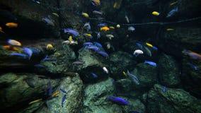 Pescados coloreados del filón metrajes