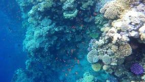 Pescados coloreados entre los arrecifes de coral almacen de metraje de vídeo