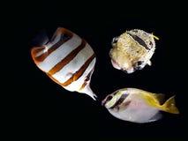 Pescados coloreados hermosos Foto de archivo