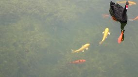 Pescados coloridos con el cisne negro