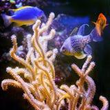 Pescados coloridos en acuario Imagen de archivo libre de regalías